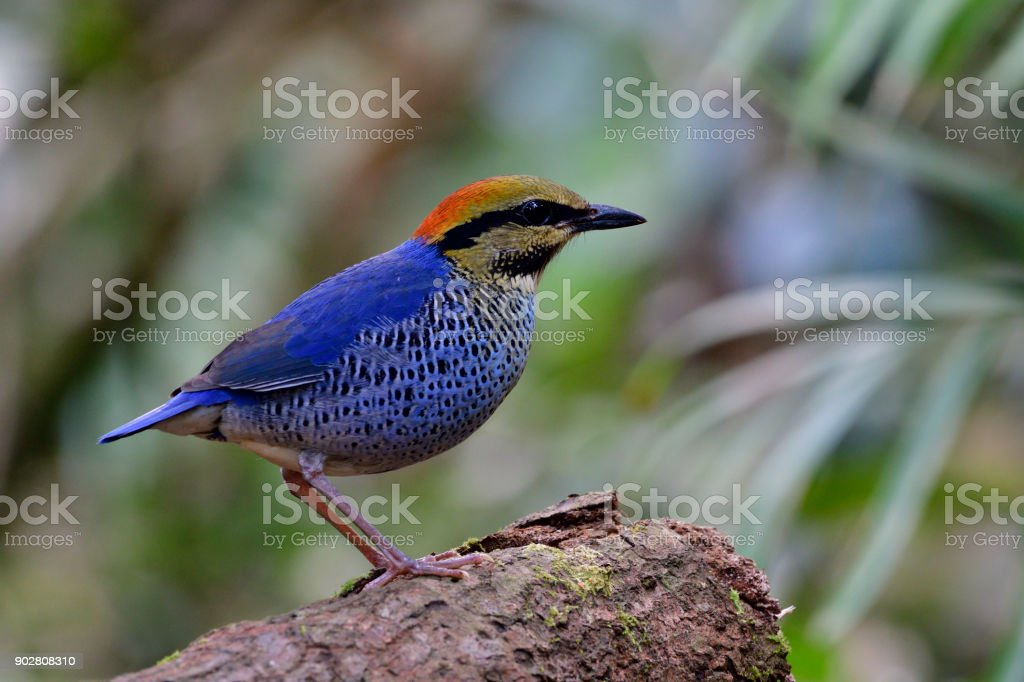 Male of Blue Pitta beautiful blue bird with fire red head perching on...