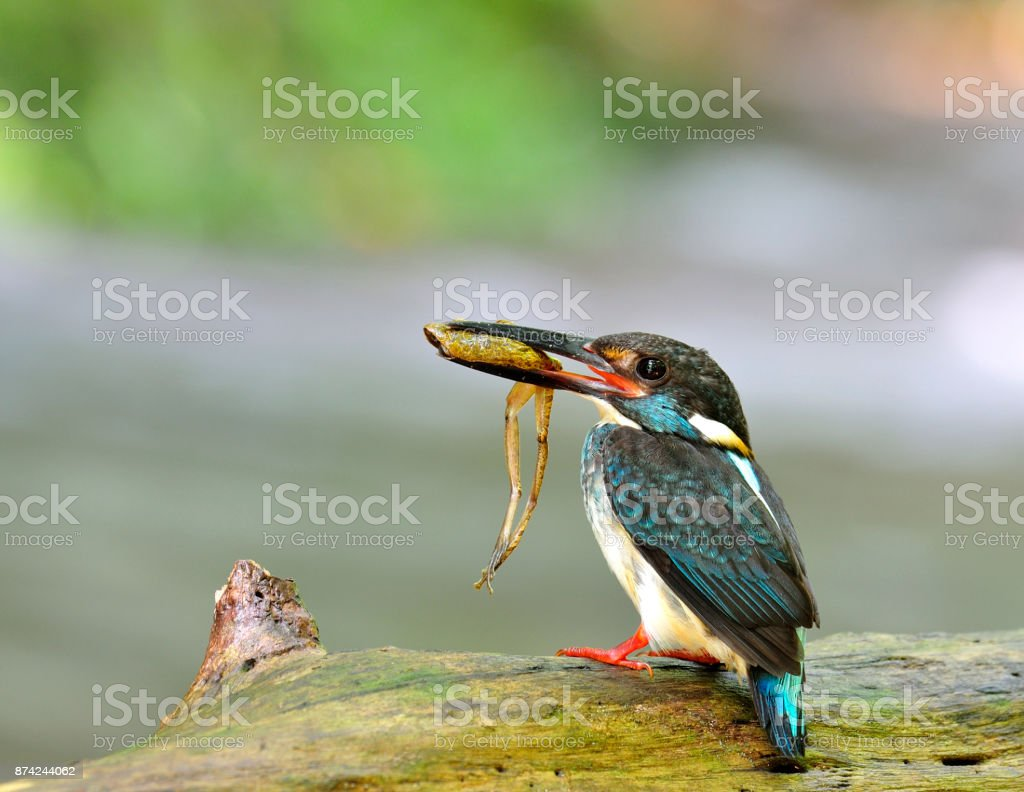 Male of Blue-Banded Kingfisher (Alcedo euryzona) the beautiful s stock photo
