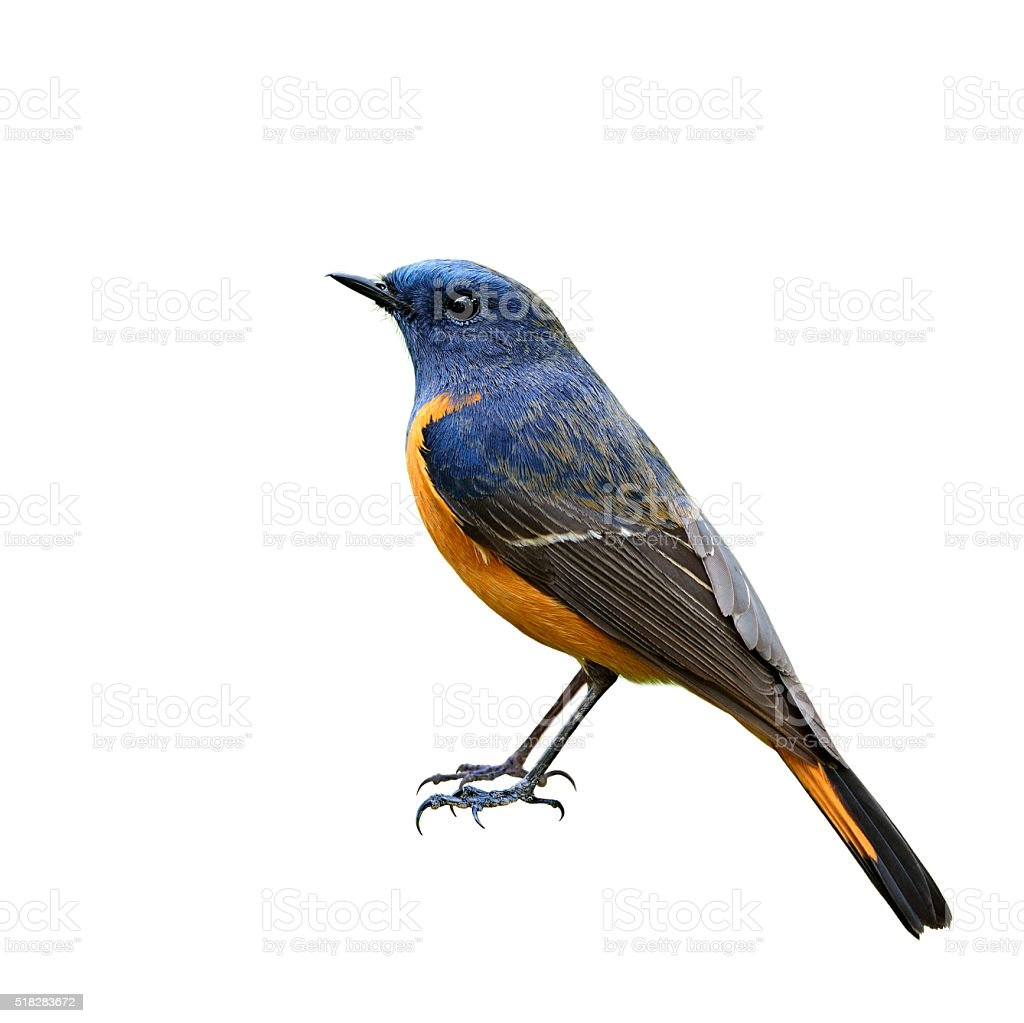 Male of Blue-fronted redstart (Phoenicurus frontalis) the beauti stock photo