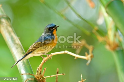 Male of Chinese blue flycatcher (Cyornis glaucicomans) with bent beak and wounded lips perching in bamboo bush in habitation living spot in Bangkok garden, Thailand