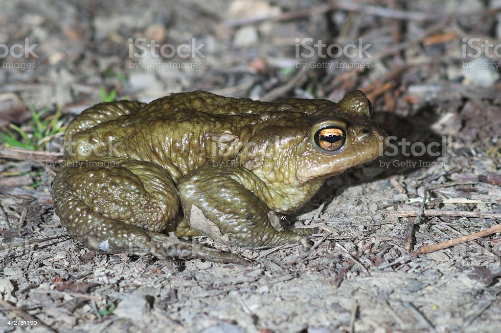 Male of common toad (Bufo bufo) in the breeding site stock photo