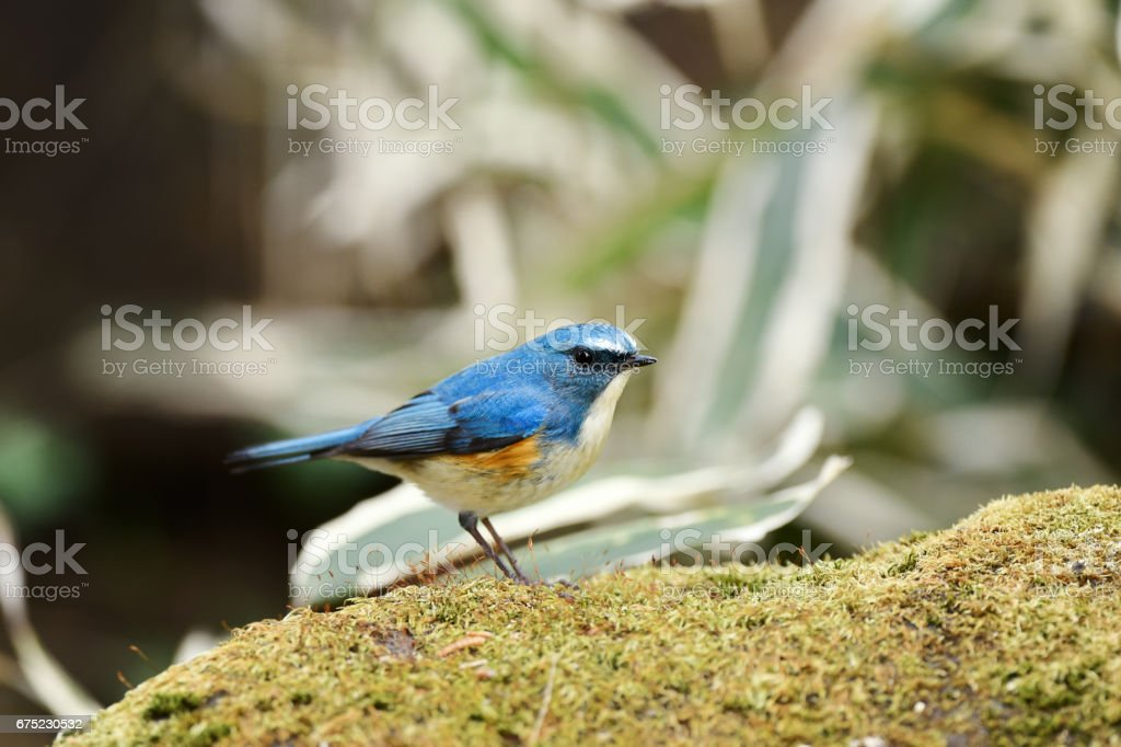 Male of Red-flanked bluetail royalty-free stock photo