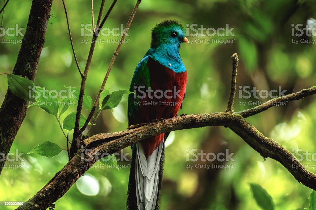 Male of resplendent quetzal stock photo