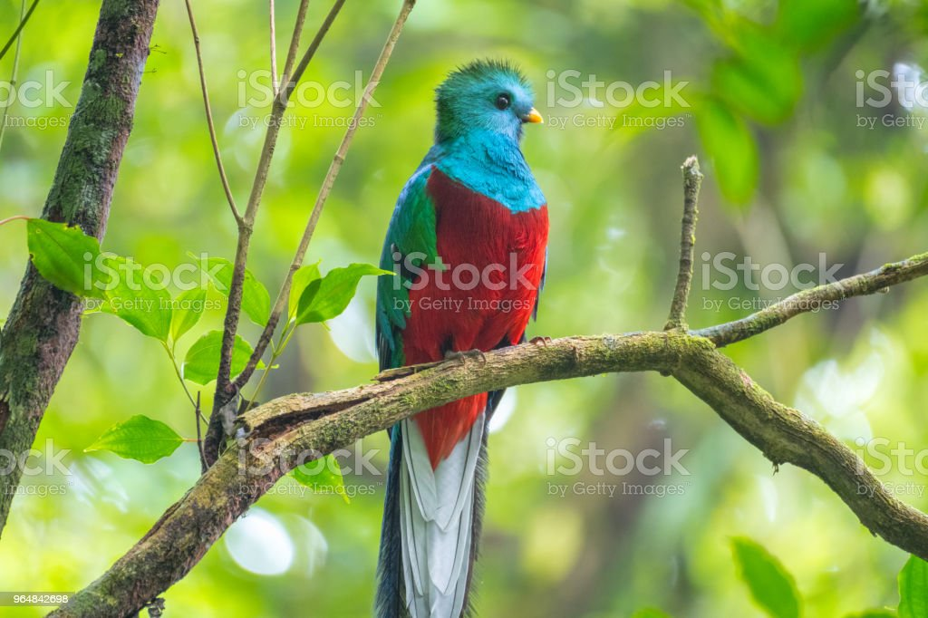 Male of resplendent quetzal royalty-free stock photo
