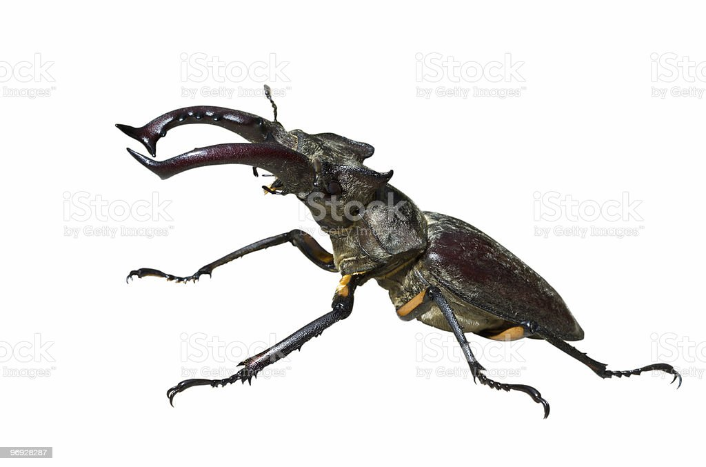 Male of Stag-beetle royalty-free stock photo