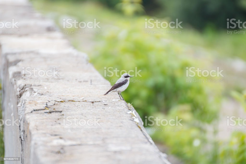 Male of Wheatear on a concrete barrier stock photo