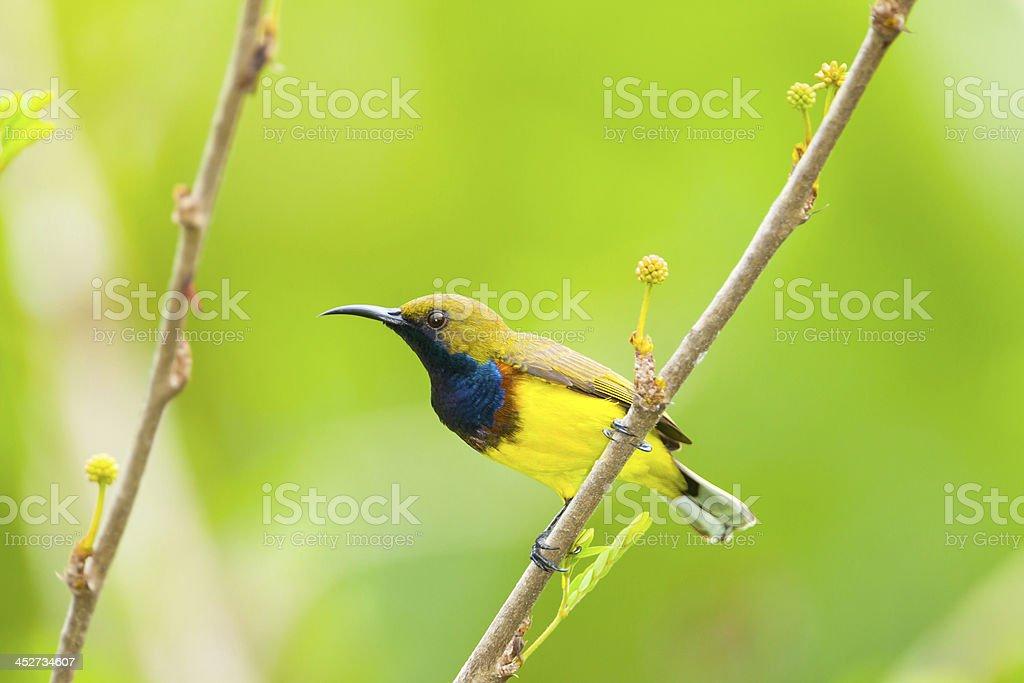 male Olive-backed sunbird stock photo