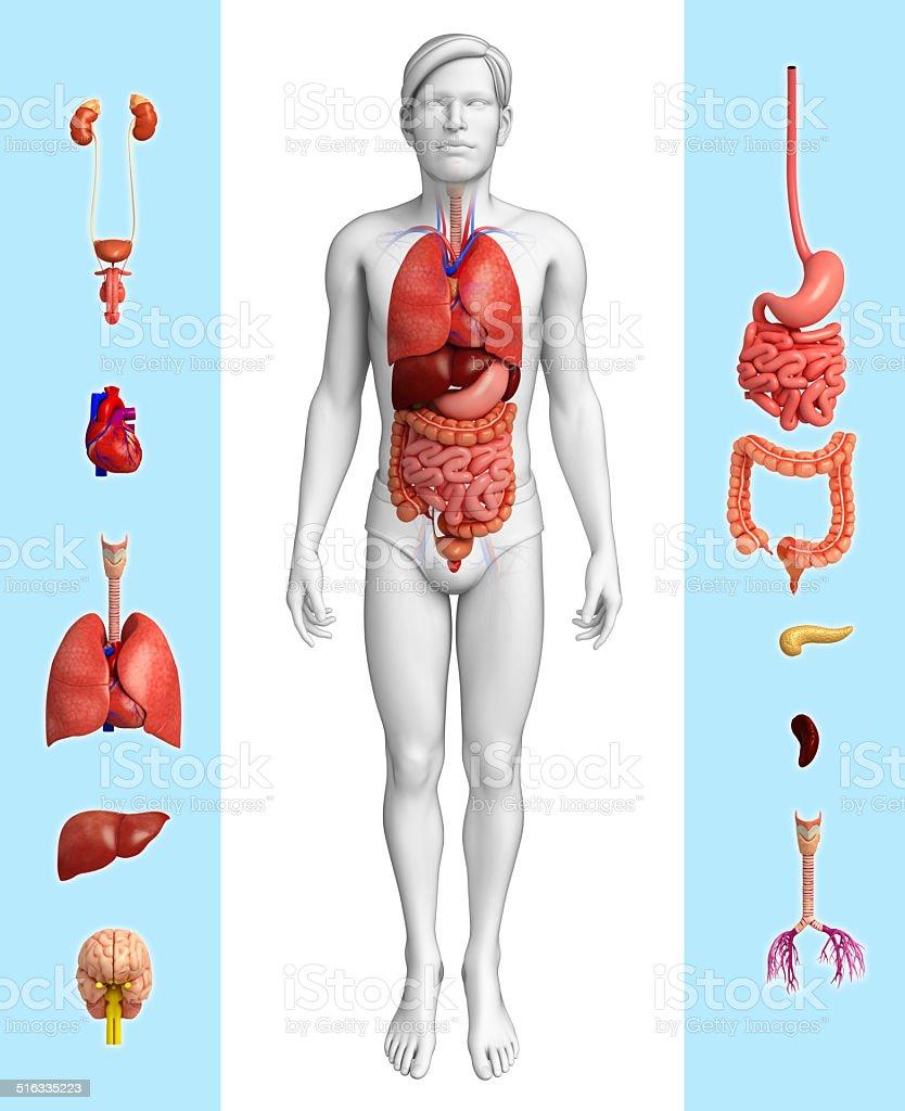 Hombre anatomía de órganos - foto de stock