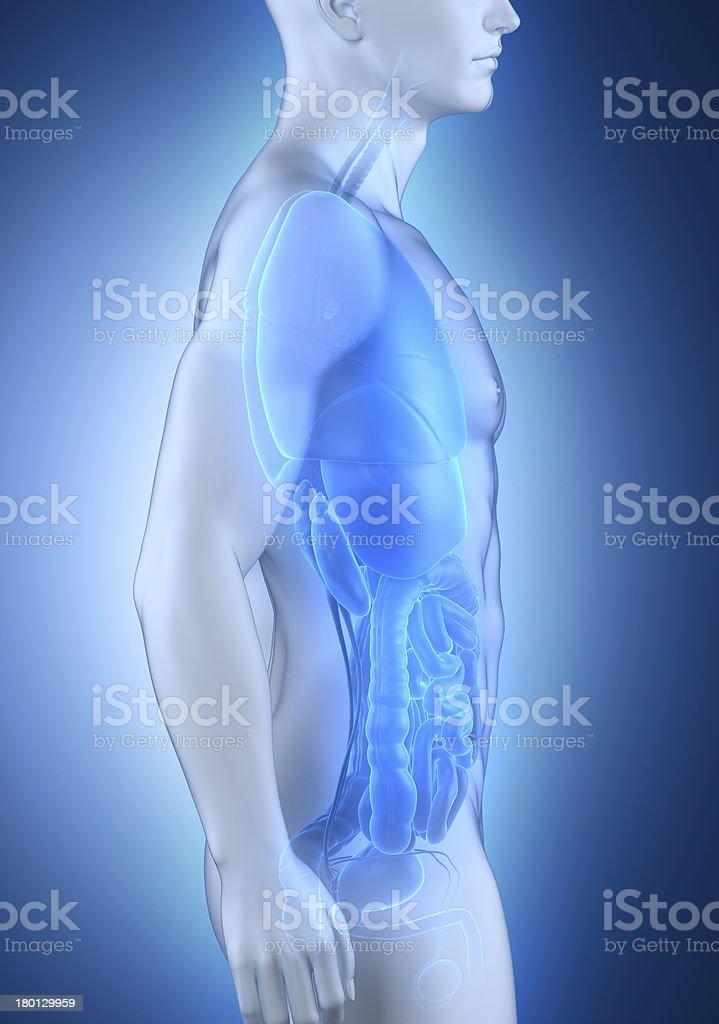 Hombre Anatomía órganos Vista Lateral - Fotografía de stock y más ...