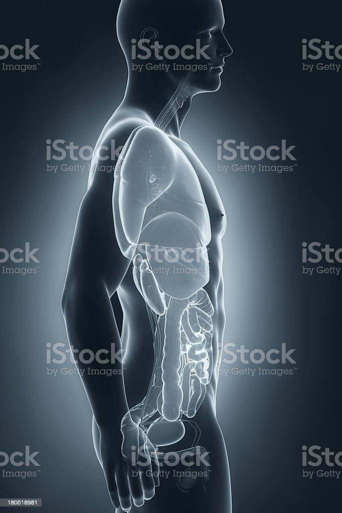 Male organs anatomy lateral view royalty-free stock photo