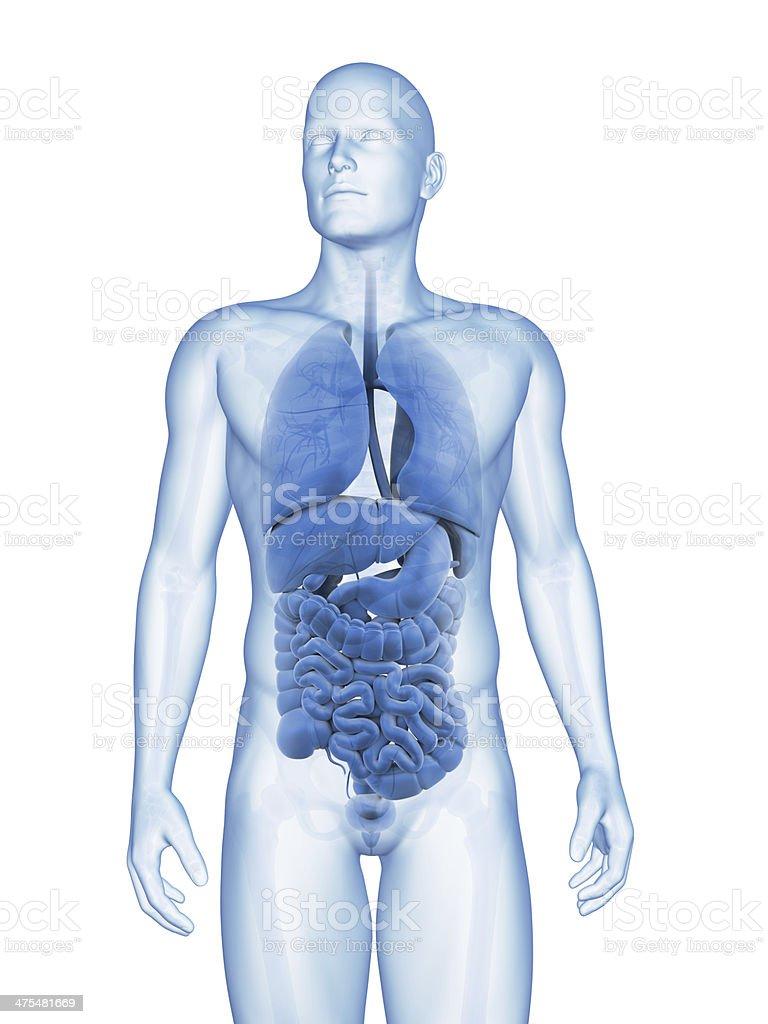 Los órganos macho - foto de stock