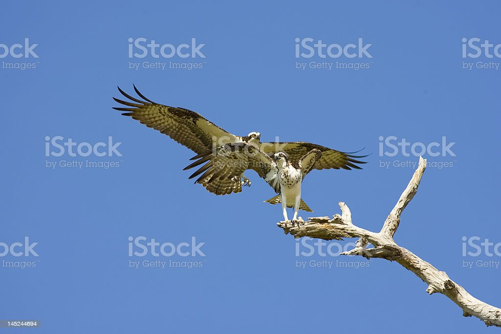 Male Osprey approaching the female to copulate royalty-free stock photo