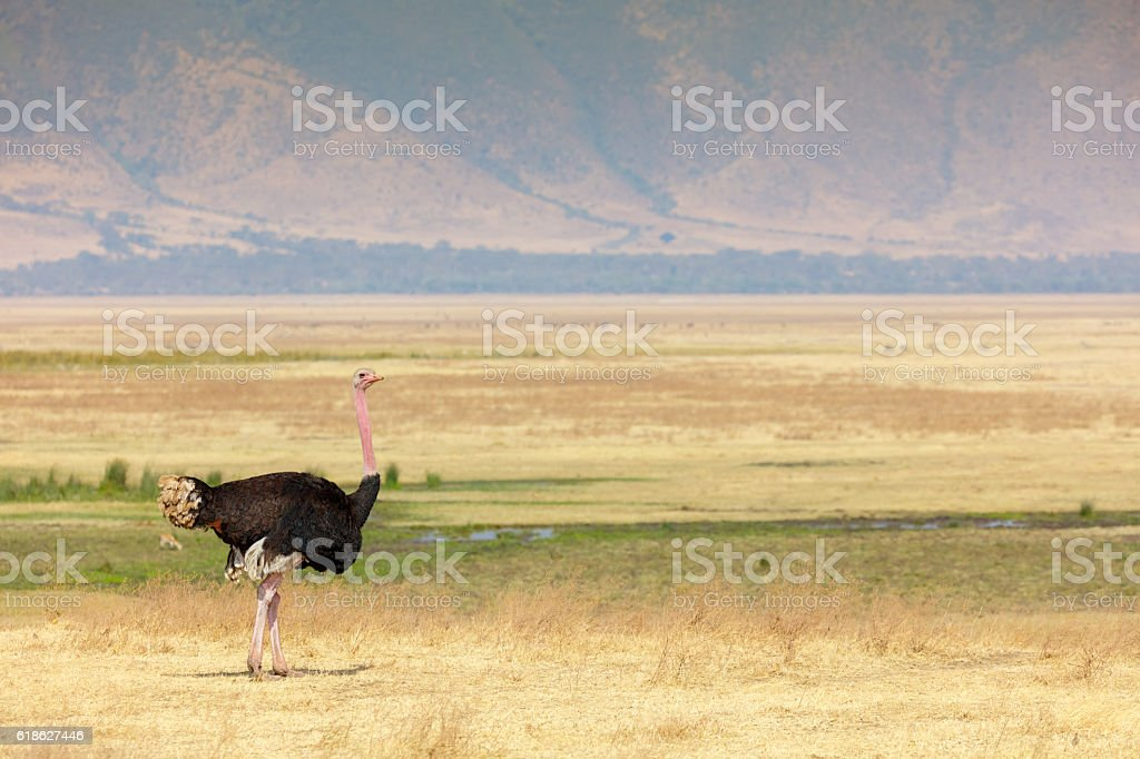 Male Ostrich in the Ngorongoro Crater, Tanzania Africa stock photo