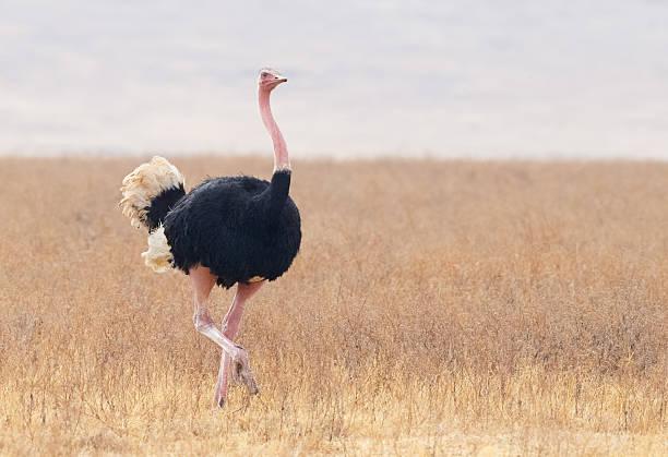 Male Ostrich, Ngorongoro, Tanzania Africa - foto de stock