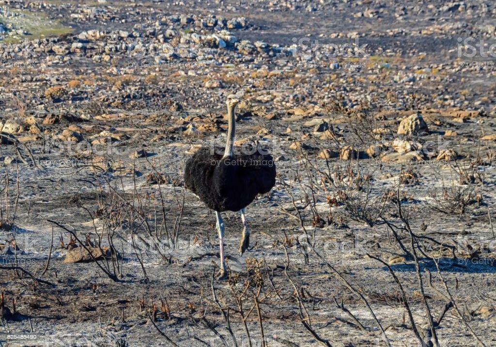 Male Ostrich stock photo