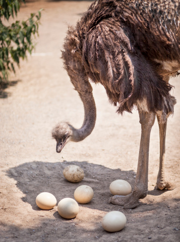 Male ostrich with eggs.