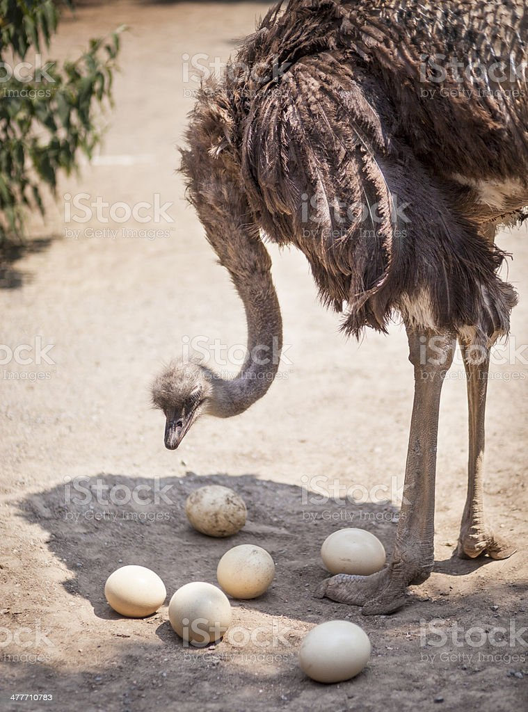 Male Ostrich With Eggs stock photo