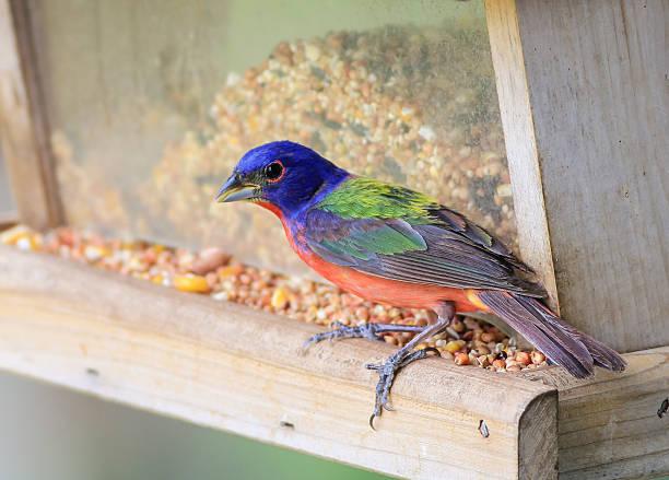 männliche papstfink-passerina ciris - ausmalbilder vögel stock-fotos und bilder