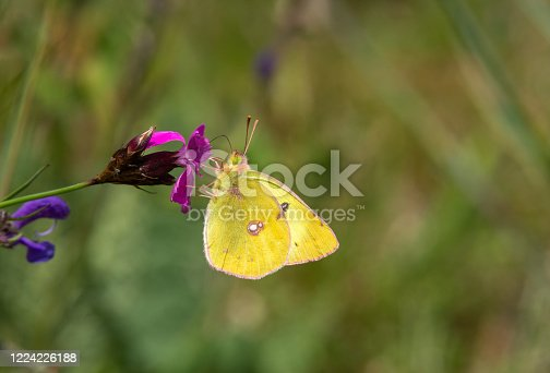 Male pale clouded yellow butterfly sucking on a carthusian pink.