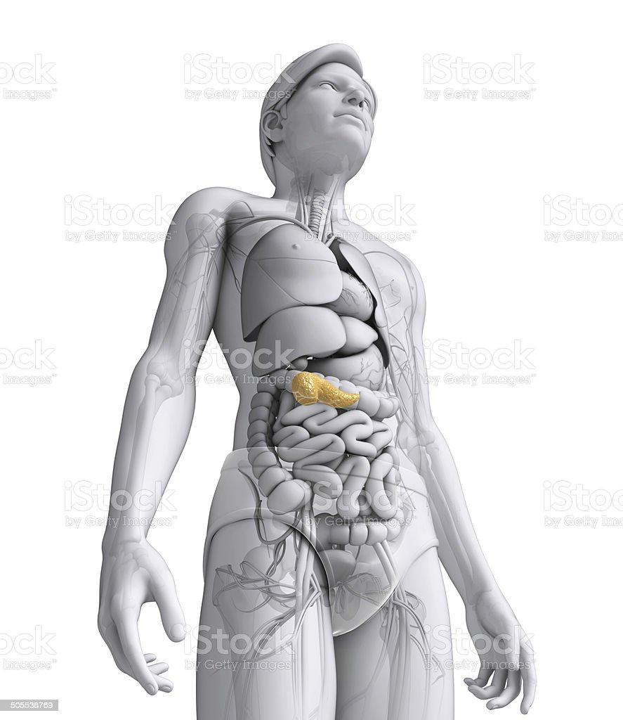 Männliche Bauchspeicheldrüse Anatomie - Stockfoto | iStock
