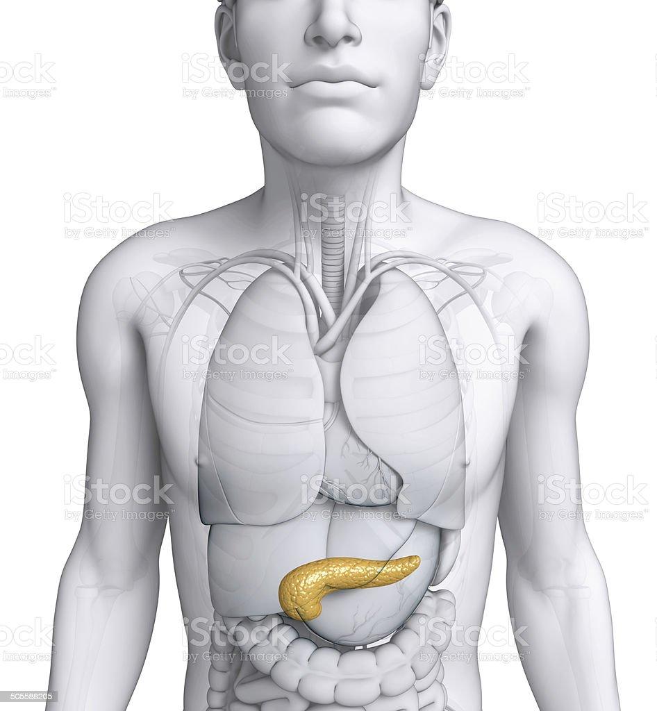 Fotografía de Hombre Anatomía Páncreas y más banco de imágenes de ...