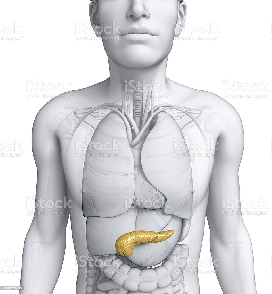 Male Pancreas Anatomy stock photo | iStock