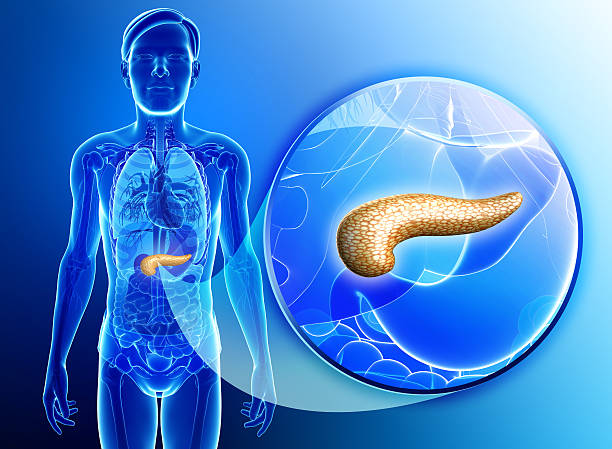 Male pancreas anatomy Illustration of male pancreas anatomy human pancreas stock pictures, royalty-free photos & images