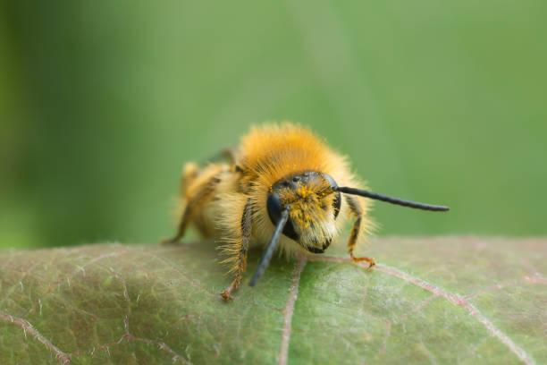 Male pantaloon bee, Dasypoda hirtipes on leaf stock photo
