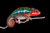 Male Panther Chameleon Bull sitting on a stick with Black Background Detail