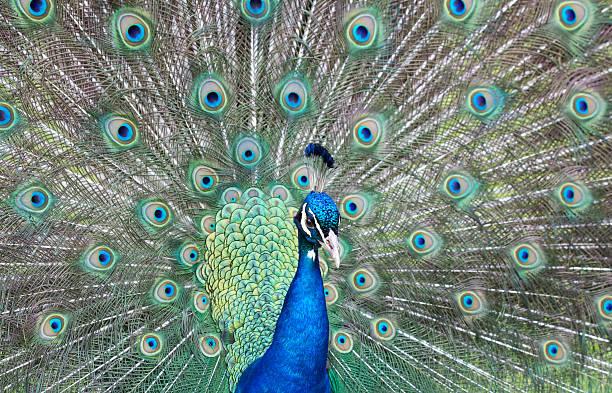 Male peacock fanning its feathers - foto de stock