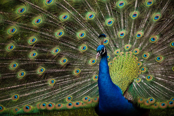 Male Peacock Outside stock photo