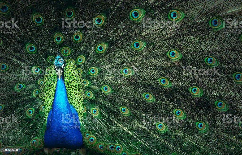 Macho de Peacock - foto de stock