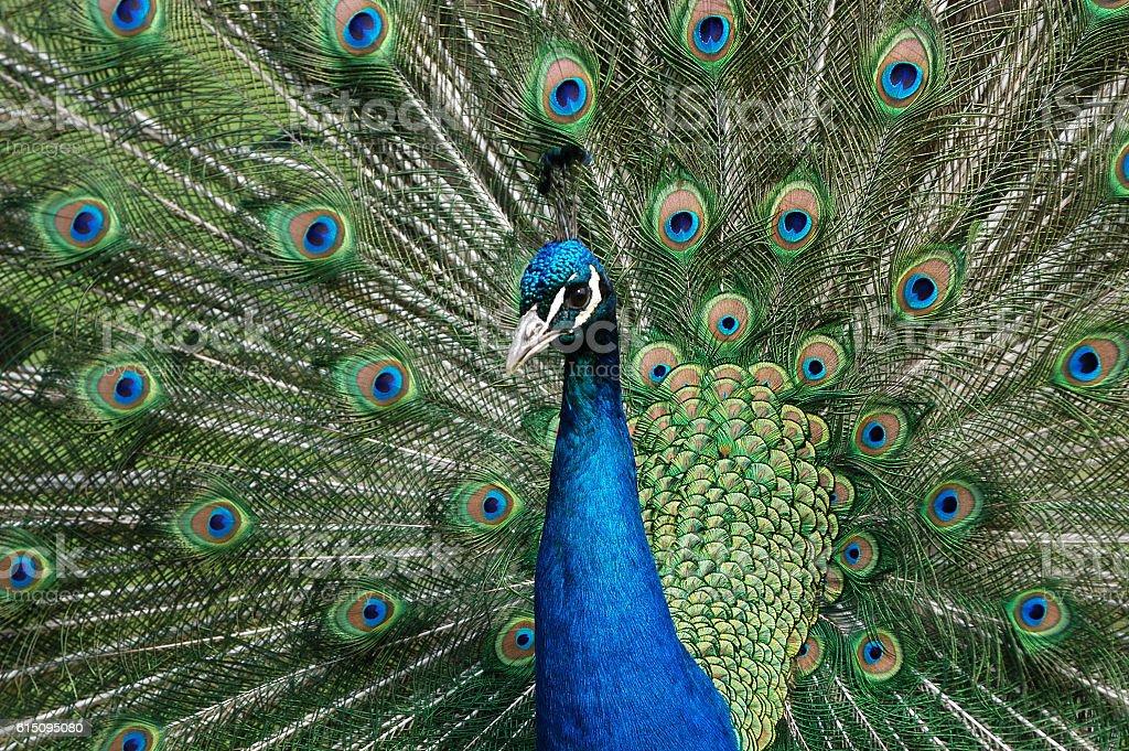 male peacock (Pavus cristatus) – Foto