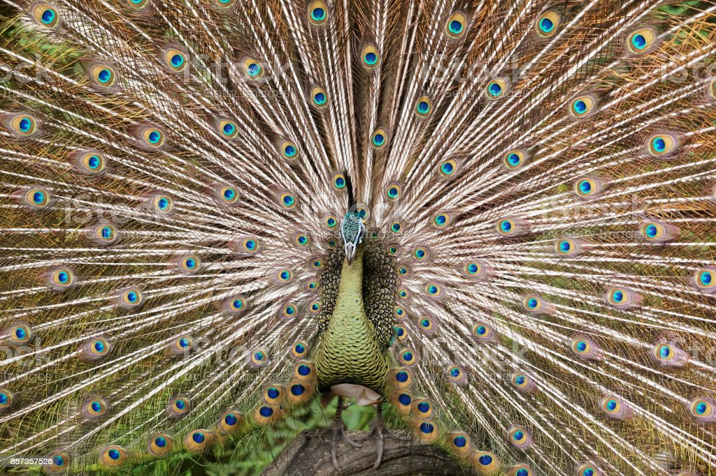 Male Peacock showing beautiful colorful feathers. stock photo