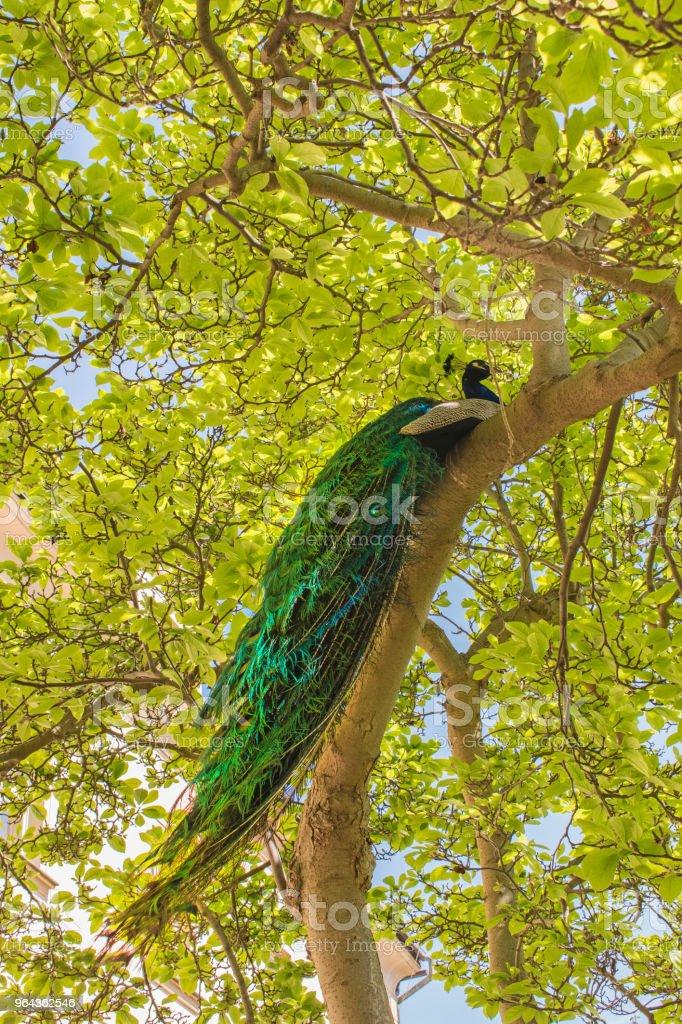 Mannelijke peacock zittend op de massale tak van de oude boom in de lentetuin - Royalty-free Beschrijvende kleur Stockfoto