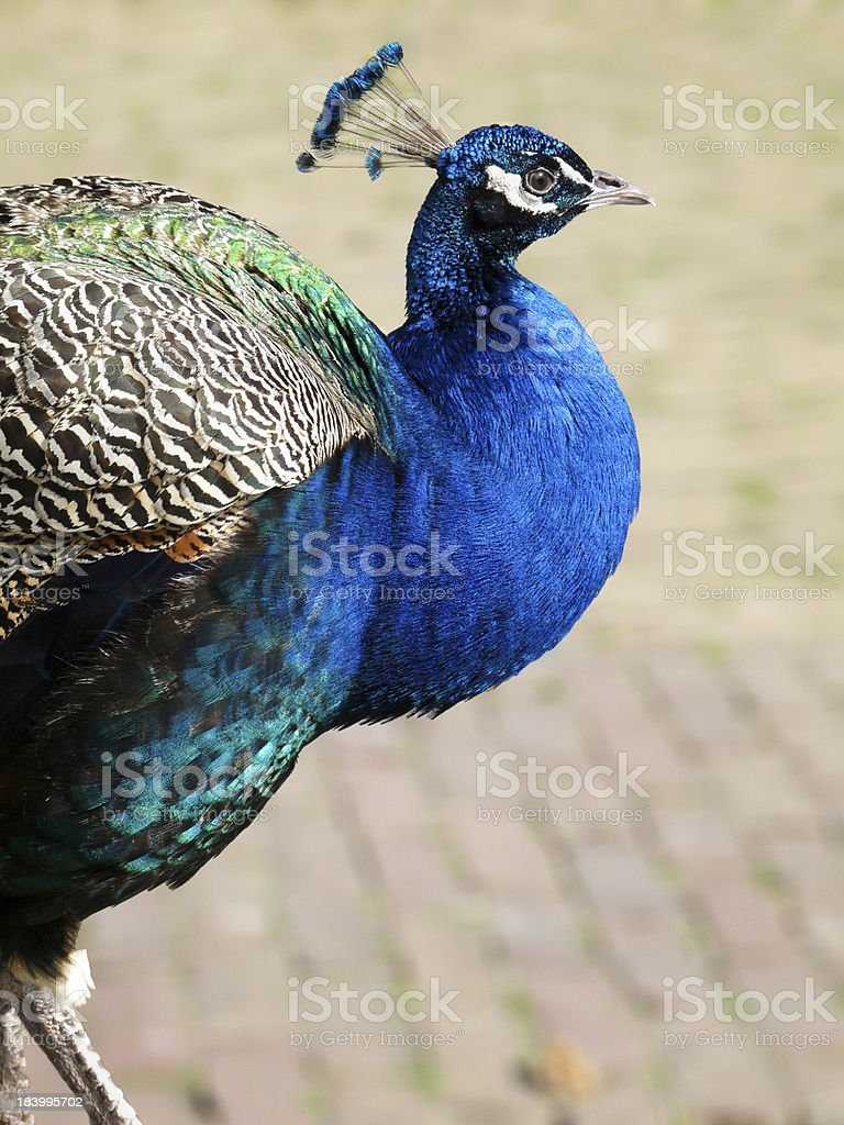 Male peacock walking on stones royalty-free stock photo