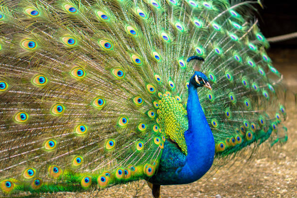 male peacock with his feathers open - peacock стоковые фото и изображения