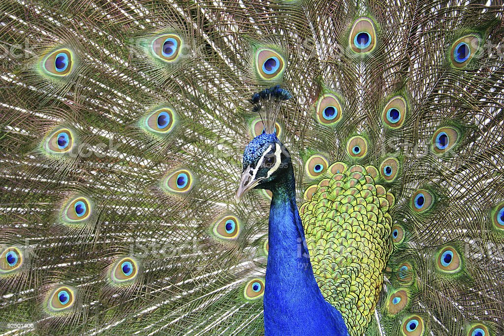 Male peafowl (Peacock) displaying feathers royalty-free stock photo