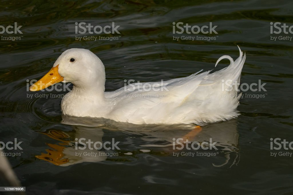 Male pekin duck (Anas platyrhynchos domesticus) stock photo