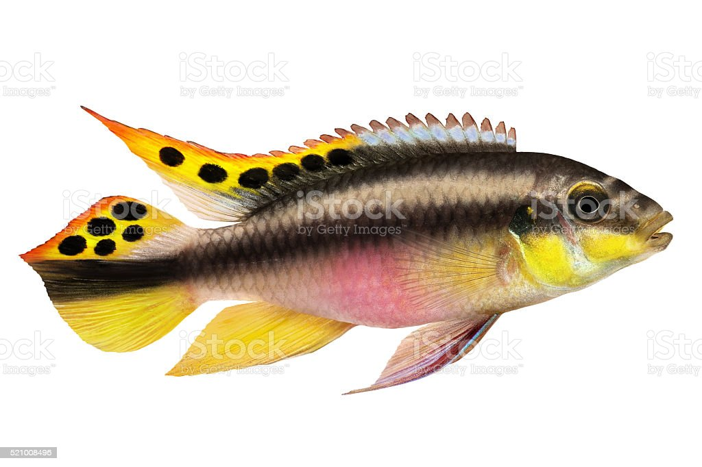 Male Pelvicachromis pulcher kribensis cichlid Aquarium fish stock photo