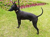 istock Male Peruvian Hairless Dog 1164825442