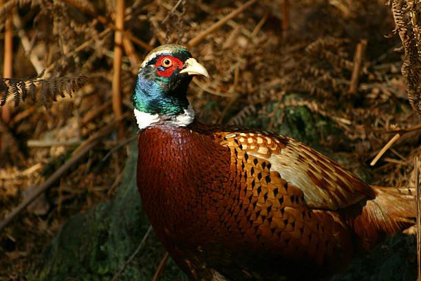 oiseau mâle faisan dans la campagne au royaume-uni - faisan gibier à plume photos et images de collection