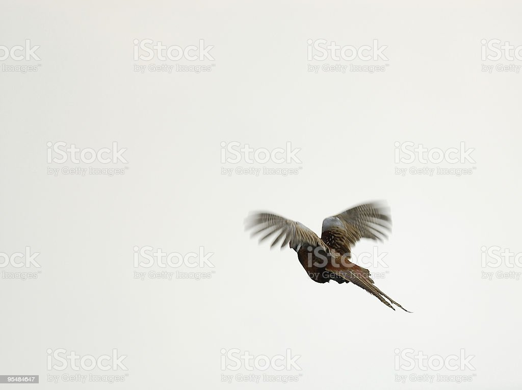 Male Pheasant flying royalty-free stock photo