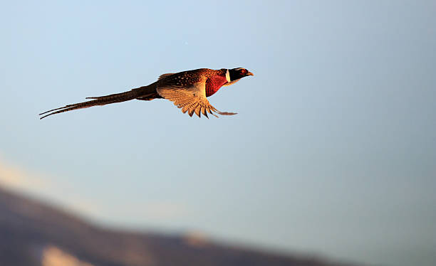 male pheasant in flight. - faisan gibier à plume photos et images de collection