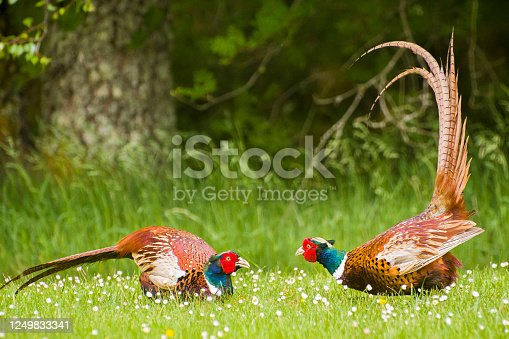 2 male pheasants fighting over territory with one protruding its tail feathers