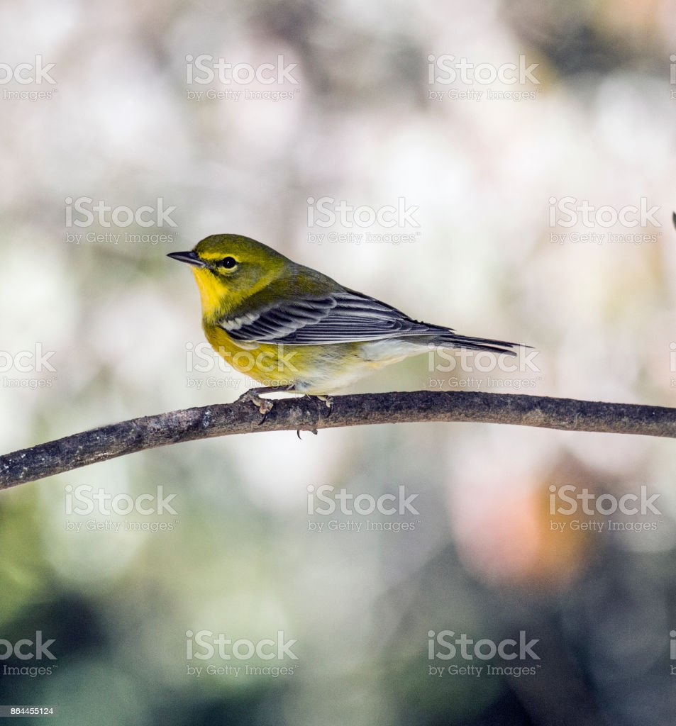 Male Pine Warbler stock photo