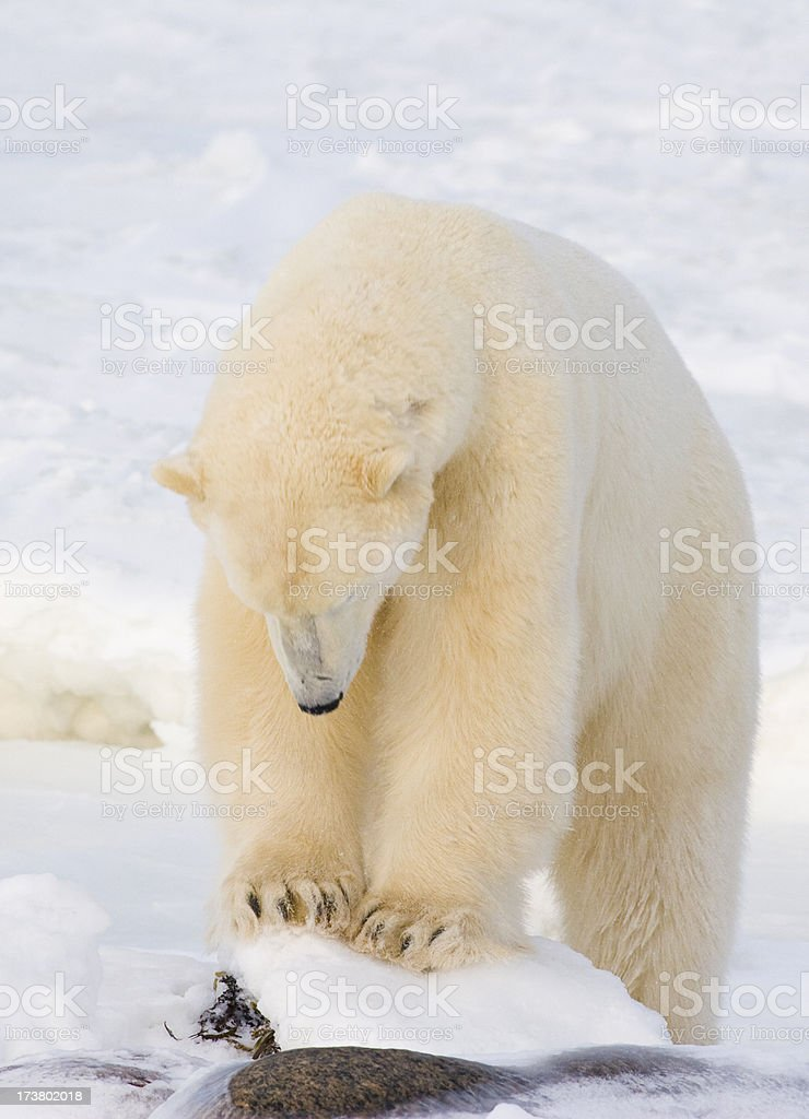 Male poar bear. stock photo