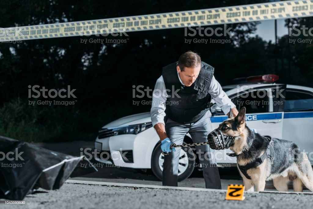 male poice officer holding dog on leash near car at crime scene with corpse in body bag stock photo