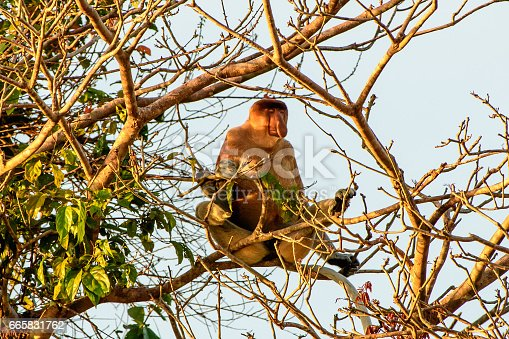 Male proboscis monkey dozing in the late afternoon sun
