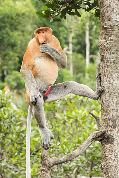 Male Proboscis monkey in a tree. stock photo